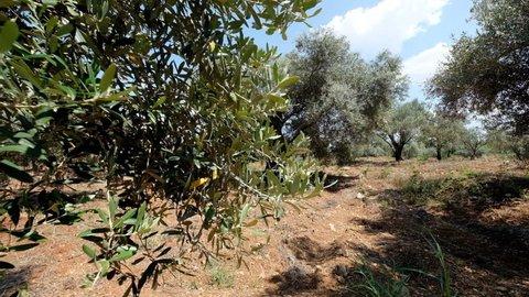 Green olive tree plantation