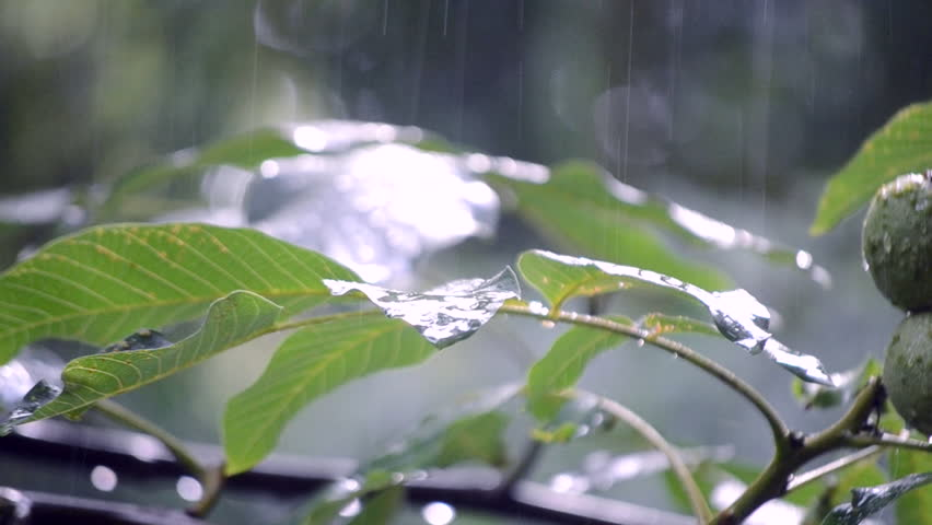 Heavy rain shower downpour cloudburst rainfall comes in the daytime. Rain drops dripping on the big green leaves of the tree Walnut close-up. Background concept rainy driving pouring rain with sound