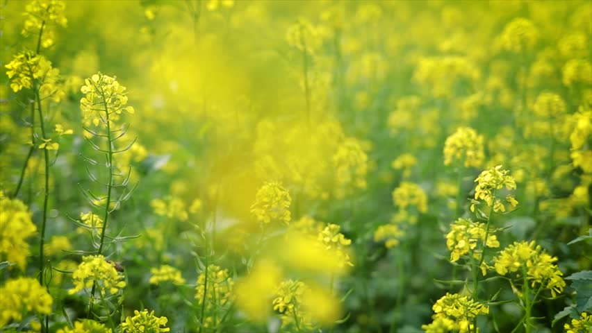 Mustard flowers. Mustard \x96 mystical flower of happiness and health.