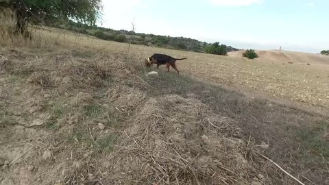 Following a hunting dog on the trail of an animal