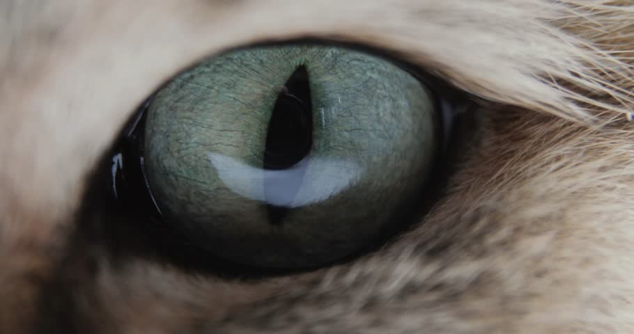 Cat With Big blue or green Eyes Close-up Looking At The Camera. golden British Cat. #1015389580