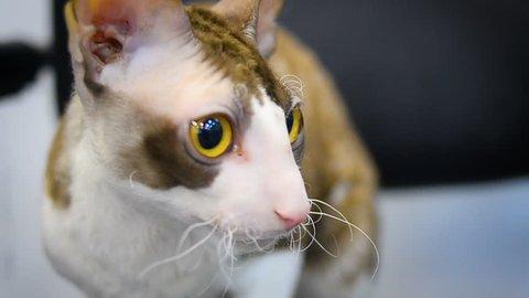 Cornish Rex cat portrait closeup