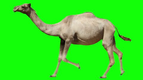Camel running trot. Animal isolated for your background. Green Screen