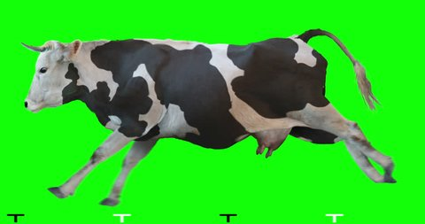 Black and white cow runs on a transparent background. Cyclic animation. Green Screen. Can also use as a silhouette.