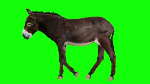Isolated donkey cyclical walking. Can be used as a silhouette. Green Screen.