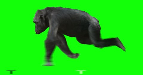 Monkey Chimp (Chimpanzze) running. Isolated and cyclic animation. Green Screen.