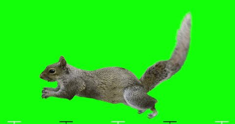 Isolated squirrel cyclical running. Can be used as a silhouette. Green Screen.