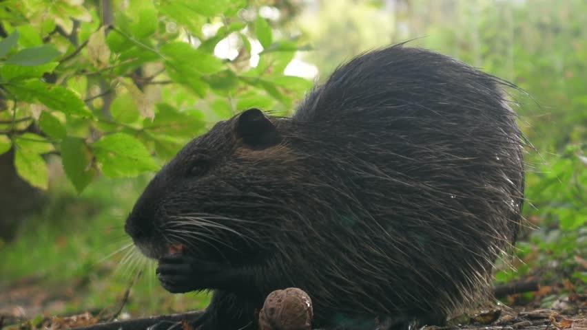 nutria (Myocastor) is eating French walnut dropped into a peanut garden.