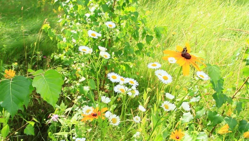 Summer scenic with butterfly on flower of rudbeckia laciniata and wild camomiles. Black butterfly on flower of rudbeckia laciniata. Butterfly sitting on yellow flower. Beautiful summer