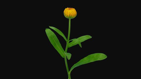 Time-lapse of opening orange calendula flower 2b1 in PNG+ format with ALPHA transparency channel isolated on black background