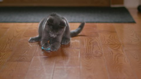 Cute Domestic Gray Kitten / Cat Plays with Small Feline Toy Mouse