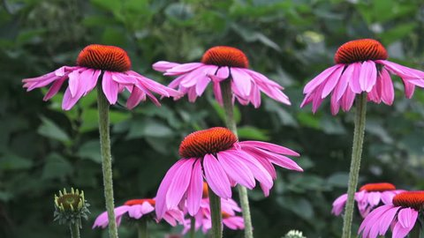 Lavender pink, daisy-like coneflowers or Echinacea with slightly drooping petals and spiky green cone brightened with orange tips