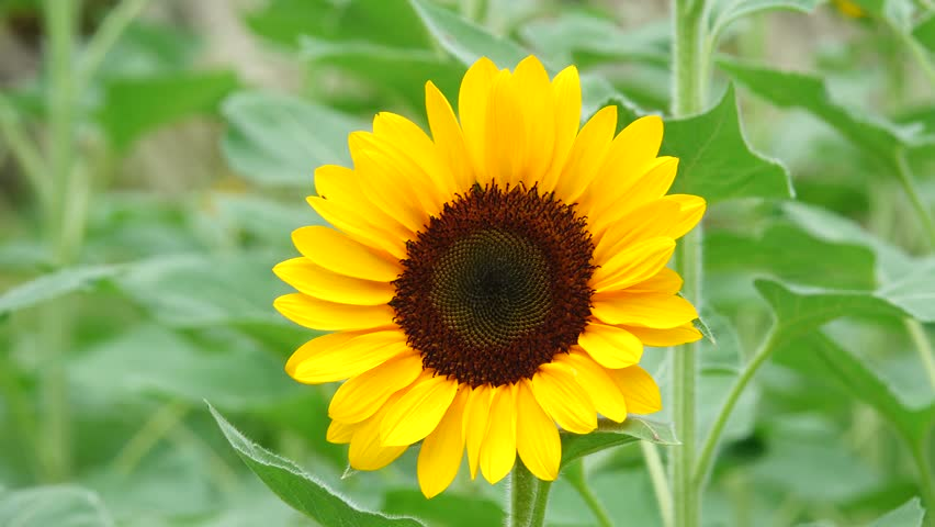 4K Sunflower in garden beautiful nature outdoor.