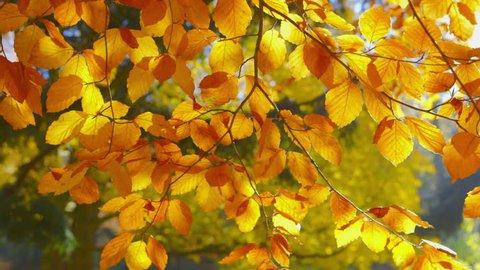 Autumn Impressions - beautiful autumn leaves - change of focus, ProRes
