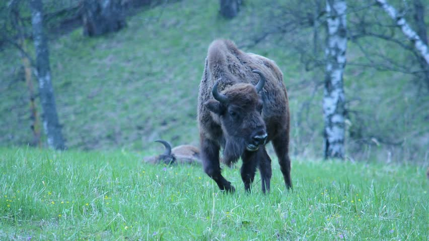 The European bison (bonasus), known as wisent or the European wood bison. It is one of two extant species of bison, alongside the American bison in forest