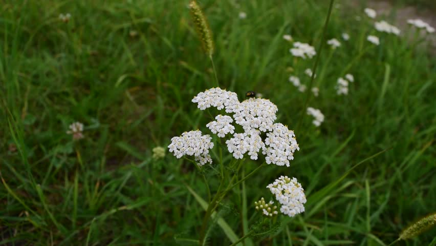 Small White Flowers Grow In Stock Footage Video 100 Royalty Free