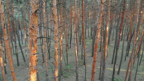 Slow Flight Inside Pine Tree Forest. Aerial view with drone. Quadcopter flies low near the pillars of trees. Massive pine forest. Wood park of forest trees. Summer, sunny day.