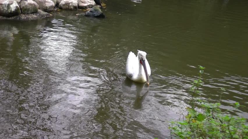 Great white pelican (Pelecanus onocrotalus) swims in a lake