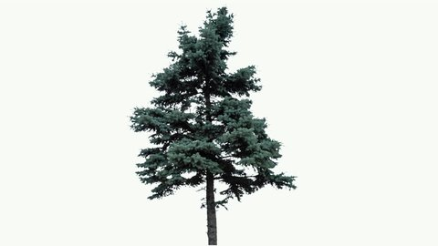 High quality 10bit footage of fir tree on the wind isolated on white background.  Made from 14bit RAW.