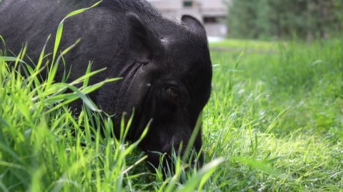 Mini pig walks on the grass. 2019-the year of the earth pig.