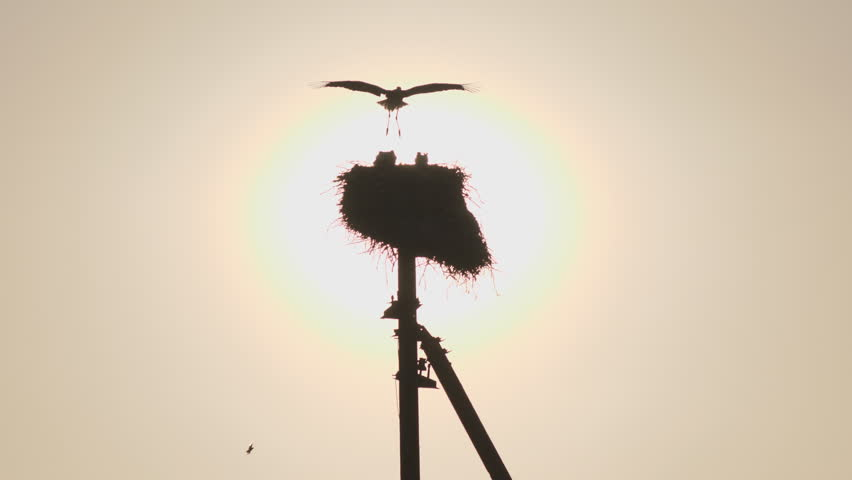 Mother stork flies to the nest to their chicks. Silhouette of the nest of storks against the evening sun.