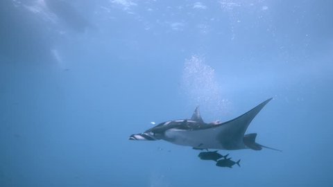 Giant oceanic manta ray swimming in the blue  in Socorro, San Benedicto island, Baja, Mexico
