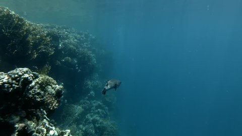 Spotted Porcupine Fish Diodon hystrix swim in the blue water (Underwater shot, 4K / 60fps)