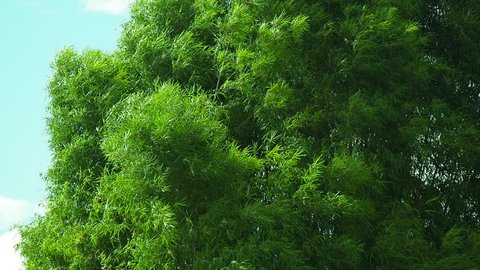 green leaves bamboo tree blowing in wind. motion b-roll footage