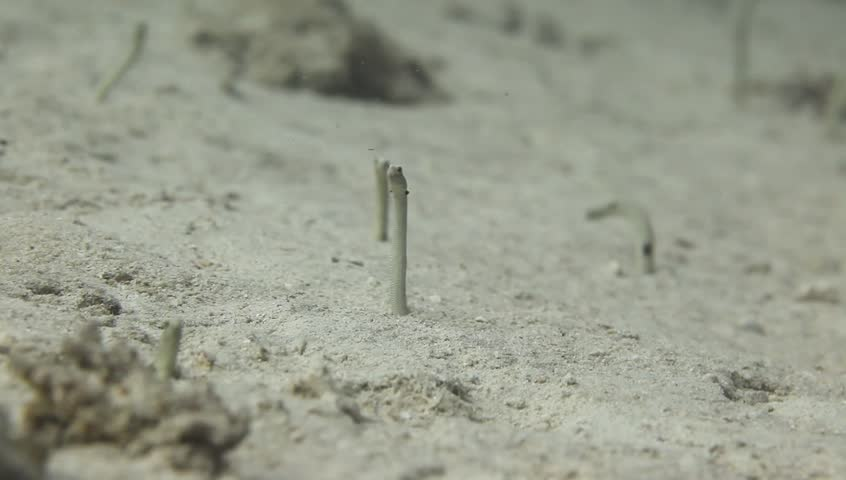 close up underwater video on a coral reef  on sandy bottom- small garden eel hiding in a hole, in Bunaken Island, Indonesia, Asia, on a sunny day with natural sunlight and clear water