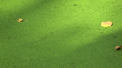 Forest  marsh pond with green duckweed