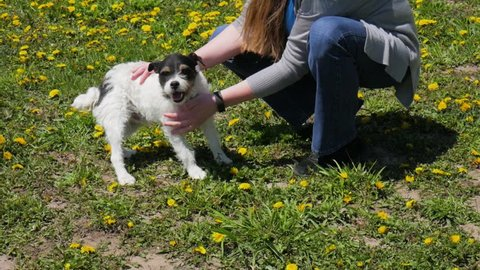 Small Jack Russell Terrier mix dog being pet and adopted