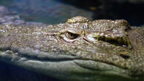 Siamese crocodile (Crocodylus siamensis) is a small to medium-sized freshwater crocodile native to Indonesia , Brunei, East Malaysia, Laos, Cambodia, Myanmar, Thailand and Vietnam.