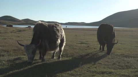 yak eating in in a green steppe field in a mongolian area of central asia, kyrgyzstan valley. slow motion video, no color correction, flat profile color