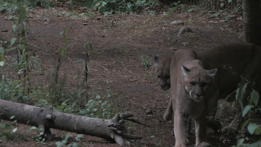 A pair of cougars in a clearing.