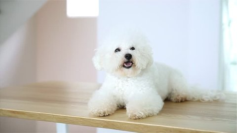 Bichon Frise Lying Down