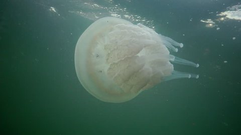 Floating in the thickness of the water in the Black Sea (Rhizostoma pulmo), commonly known as the barrel jellyfish (dustbin-lid,  frilly-mouthed jellyfish), scyphomedusa. Black Sea