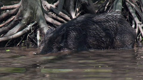 Wild pig in bayou
