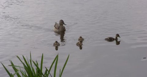 4K summer day video view of ducks playing and swimming in Tvertsa River in small vintage town Torzhok in Tver Oblast, half way between Moscow and Saint Petersburg, in Russia