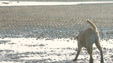 120 fps slow motion shot of a dog at Caldy Beach in the Wirral Peninsula