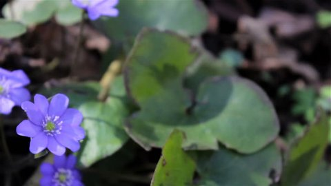 flowers spring blue Hepatica nobilis,the first flowers of Hepatica nobilis grows in the woods