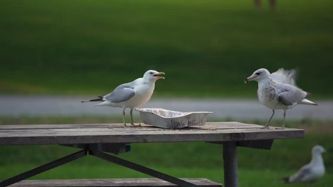 Seagulls fighting over leftover food tray on campground table