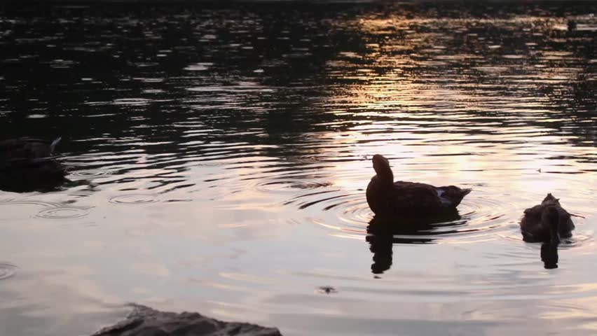 Footage of ducks in a river at sunset. #1016775400