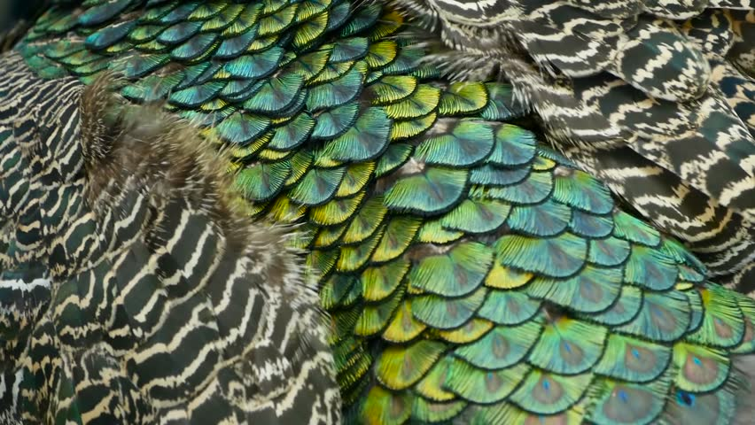 Elegant wild exotic bird with colorful artistic feathers. Close up of peacock textured plumage. Flying Indian green peafowl (Pavo cristatus) in real nature, vibrant pattern of luminous tail and wings.