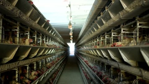 Poultry farm, chickens sit in open-air cages and eat mixed feed, on conveyor belts lie hen's eggs, chicken