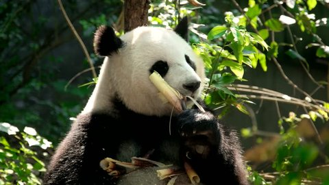 Chinese tourist attraction - giant panda bear eating bamboo. Chengdu, Sichuan, China