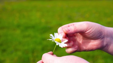 Woman guessing on a flower of a camomile