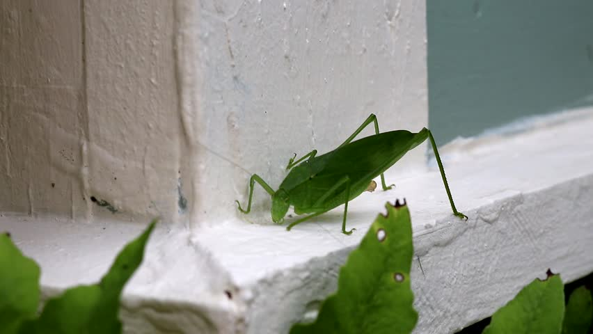 Katydid on house ledger board. Appears to be eating or drinking off the surface.