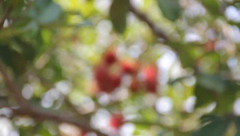 blurring rambutan at the tree