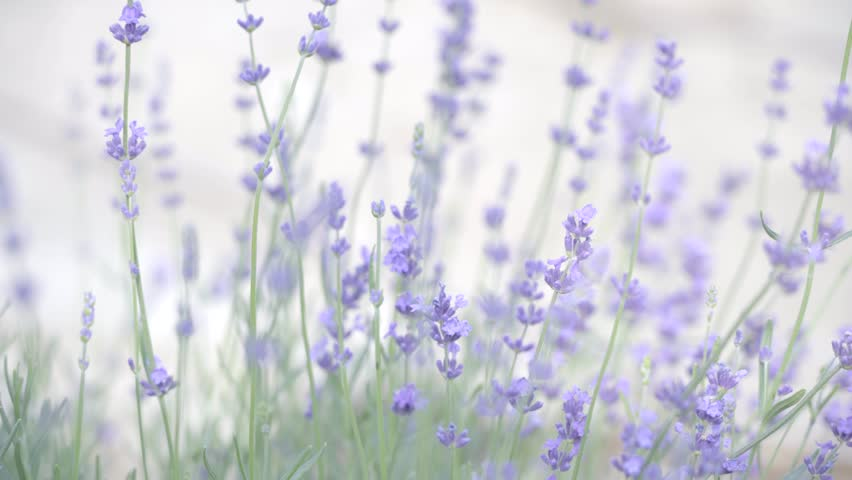 Lavender flowers at sunlight in a soft focus, pastel colors and blur background.