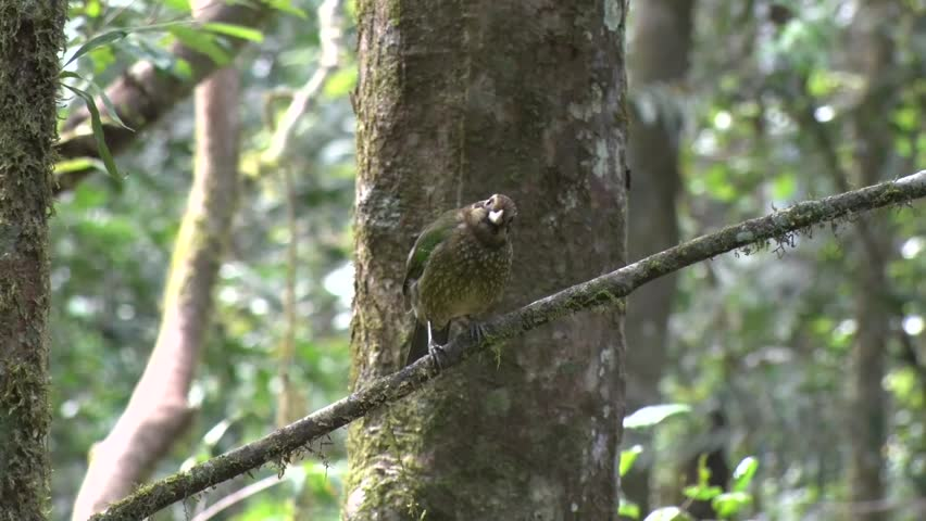 Spotted Catbird sits on branch looking around and cleaning feathers and defecate and fly away